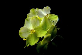 Orchid Flower G4